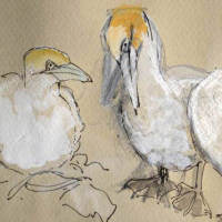 drawing of a gannet